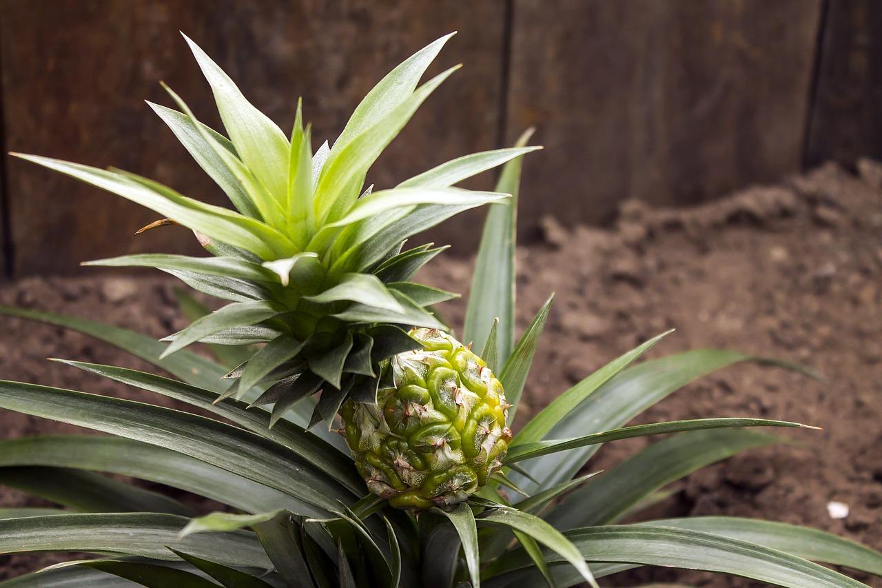 "<img src=""ananas.jpg"" alt=""ananas-bromelaina-jak-rośnie.jpg""/>"