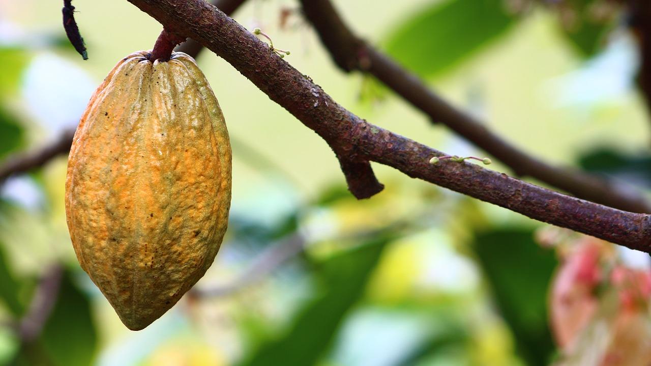jak rośnie kakao
