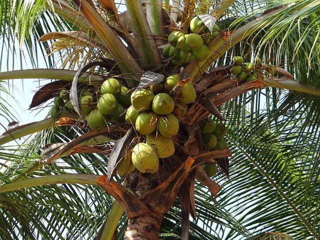 kokos olej