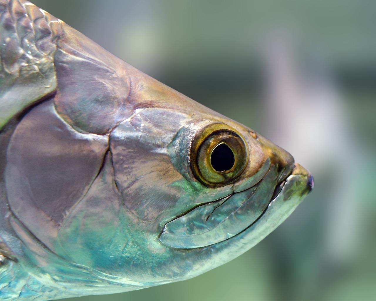 oko ryby